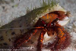 BD-141015-Komodo-5020-Dardanus-megistos-(Herbst.-1804)-[Whitespotted-hermit-crab].jpg
